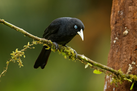 Scarlet-rumped Cacique - Cacicus microrhynchus uropygialis  passerine bird in the family Icteridae, breeds from Honduras to Panama and in the Pacific lowlands of South America