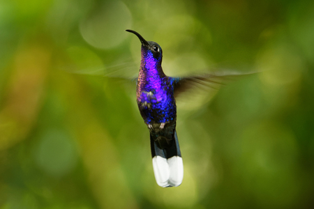 Violet Sabrewing - Campylopterus hemileucurus large flying hummingbird native to southern Mexico and Central America as far as Costa Rica and Panama.