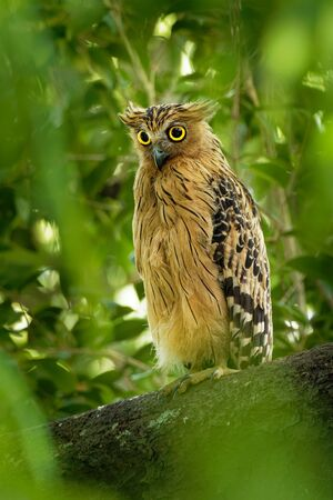 Buffy Fish Owl - Ketupa ketupu or Malay fish owl, is a species of owl in the family Strigidae. India and southern Burma, Cambodia, Laos and Vietnam, Thailand, the Malay 写真素材