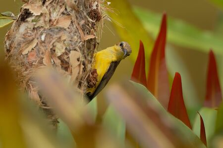 Olive-backed sunbird - Cinnyris jugularis, also known as the yellow-bellied sunbird, is a southern Far Eastern species of sunbird. Imagens