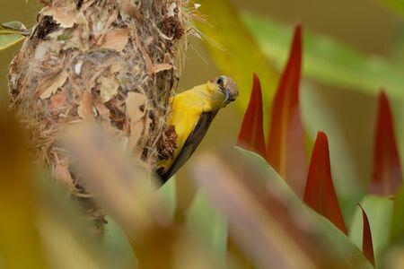 Souimanga à dos olive - Cinnyris jugularis, également connu sous le nom de souimanga à ventre jaune, est une espèce de souimanga du sud de l'Extrême-Orient. Banque d'images
