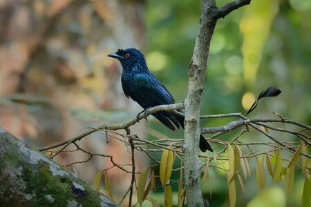 Greater Racket-tailed Drongo - Dicrurus paradiseus, Asian bird distinctive in having elongated outer tail feathers with webbing restricted to the tips, family Dicruridae.