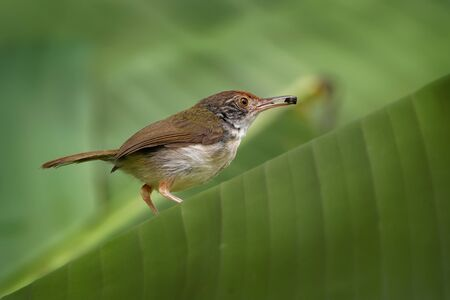 Common Tailorbird  - Orthotomus sutorius bird in the family Cisticolidae. It is found in Brunei, Indonesia, Malaysia, Myanmar, the Philippines, Singapore, and Thailand, Vietnam.