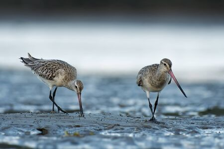 Bar-tailed Godwit - Limosa lapponica  large wader, Scolopacidae, breeds on Arctic coasts and tundra and winters on coasts in tropical regions of the Old World, Australia and New Zealand.
