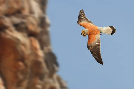 Lesser Kestrel - Falco naumanni small falcon,s breeds from the Mediterranean, Afghanistan and Central Asia, to China and Mongolia, summer migrant, wintering in Africa and Pakistan. Stock Photo