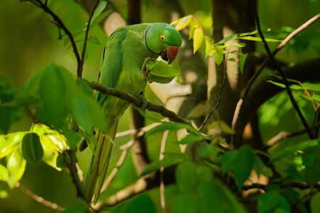 Rose-ringed Parakeet - Psittacula krameri or ring-necked parakeet, medium-sized parrot in the genus Psittacula, family Psittacidae, native ranges in Africa and South Asia, introduced into the world. Stock fotó