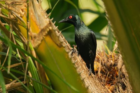Asian Glossy Starling - Aplonis panayensis red eye black bird in the family Sturnidae, found in Bangladesh, Brunei, India, Indonesia, Malaysia, Myanmar, the Philippines, Singapore, Taiwan and Thailand