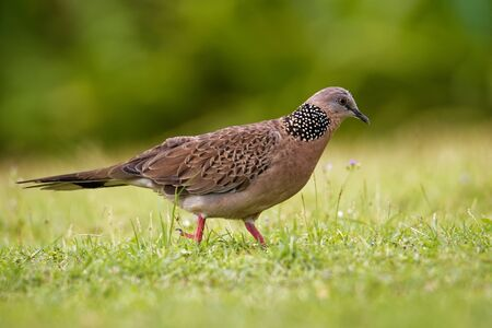 Spotted Dove - Streptopelia (Spilopelia ) chinensis small long-tailed pigeon, also known as mountain dove, pearl-necked dove, lace-necked dove, or spotted turtle-dove.