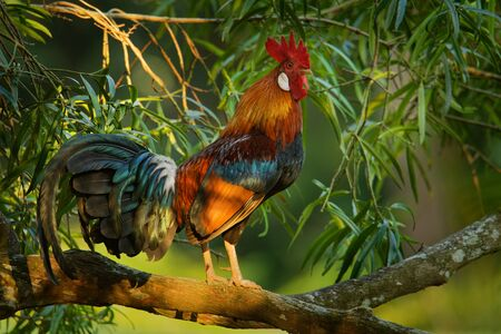 Red Junglefowl - Gallus gallus  tropical bird in the family Phasianidae. It is the primary progenitor of the domestic chicken (Gallus gallus domesticus). 写真素材