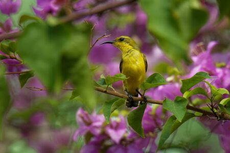 Olive-backed sunbird - Cinnyris jugularis, also known as the yellow-bellied sunbird, is a southern Far Eastern species of sunbird. Hanging nest in the bush with sitting parent.