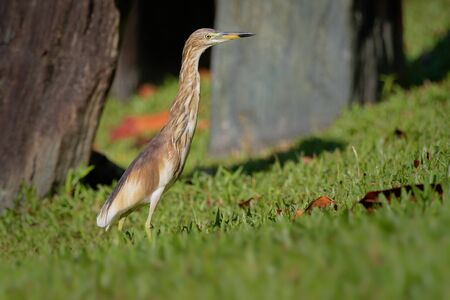 Indian Pond-Heron or paddybird - Ardeola grayii is a small heron. It is of Old World origins, breeding in southern Iran and east to Pakistan, India, Burma, Bangladesh and Sri Lanka.