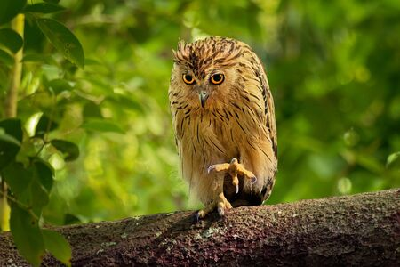 Buffy Fish Owl - Ketupa ketupu or Malay fish owl, is a species of owl in the family Strigidae. India and southern Burma, Cambodia, Laos and Vietnam, Thailand, the Malay. 写真素材
