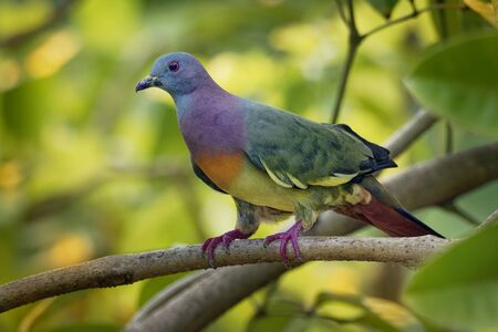 Pink-necked Green-Pigeon - Treron vernans species of bird family, Columbidae, common in Southeast Asia, from Myanmar and Vietnam south through to islands of Indonesia and the Philippines.