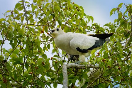 Pied Imperial-Pigeon - Ducula bicolor is large, pied pigeon, found in forest, woodland, mangrove, plantations and scrub in Southeast Asia, from Myanmar and Thailand, Indonesia to the Philippines.