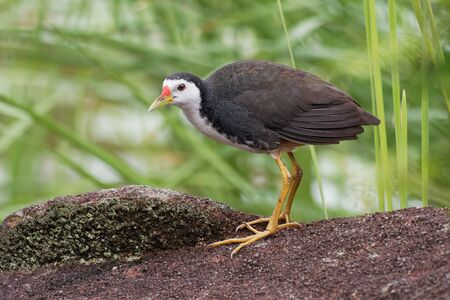 White-breasted Waterhen - Amaurornis phoenicurus waterbird of the rail and crake family, Rallidae, widely distributed across South and Southeast Asia, dark slaty birds with white face, breast and bell 写真素材