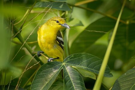 Common Iora - Aegithina tiphia small yellow and black passerine bird found across the tropical Indian subcontinent with populations showing plumage variations, hunting insects - mantis.