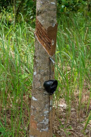Rubber tree orchard or  plantation, bowl for collecting latex from a rubber tree, rubber tapping. Hevea brasiliensis is flowering plant in the spurge family, Euphorbiaceae.
