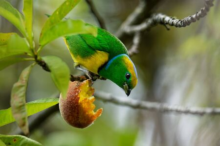 Golden-browed Chlorophonia - Chlorophonia callophrys is bird in the Fringillidae family, found in Costa Rica and Panama. It is uncommon in subtropical or tropical moist montane forests above 750m.
