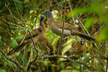 Grey-headed Chachalaca - Ortalis cinereiceps bird of the family Cracidae, related to the Australasian mound builders, breeds in lowlands from Honduras to Colombia. 写真素材
