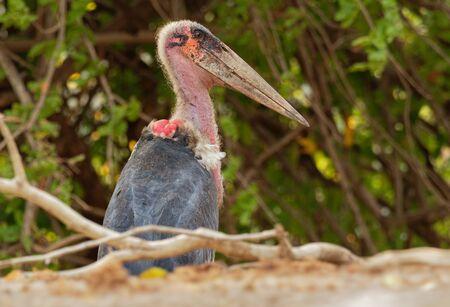 Marabou Stork - Leptoptilos crumeniferus large wading bird in the stork family Ciconiidae, breeds in Africa south of the Sahara, sometimes called the undertaker bird.