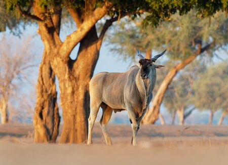 Common Eland - Taurotragus oryx also the southern eland or eland antelope, savannah and plains antelope found in East and Southern Africa, family Bovidae and genus Taurotragus. Banco de Imagens
