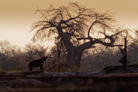 Spotted Hyena - Crocuta crocuta after meals walking in the park. Beautiful sunset in Mana Pools. Zimbabwe, looks like from the hell.
