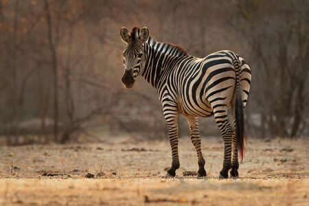 Plains Zebra - Equus quagga formerly Equus burchellii, also common zebra, the most common and geographically widespread species of zebra, black and white stripes.