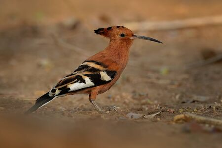 African hoopoe - Upupa africana  species of hoopoe family Upupidae, previously considered as a subspecies (Upupa epops africana), big crest and darker color. 写真素材