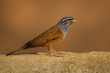 House bunting - Emberiza sahari  passerine bird in the bunting family Emberizidae, resident breeder of dry country from north-western Africa from Morocco south to Mali and east to Chad. Archivio Fotografico