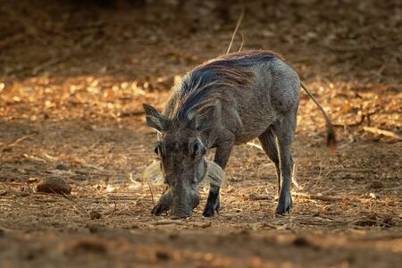 Common Warthog - Phacochoerus africanus  wild member of pig family Suidae found in grassland, savanna, and woodland, in the past it was as a subspecies of P. aethiopicus.