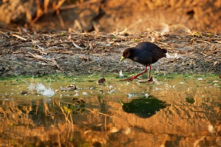 Black Crake - Amaurornis flavirostra waterbird in the rail and crake family, Rallidae. It breeds in most of sub-Saharan Africa except in very arid areas. Black bird with yellow beak and red legs.