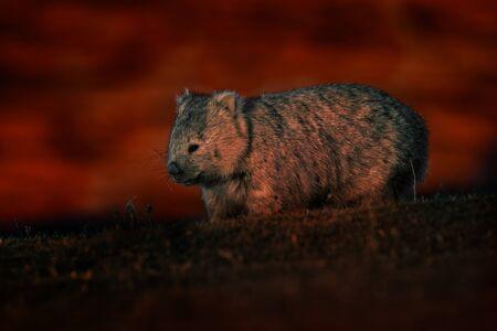 Common Wombat - Vombatus ursinus in the Tasmanian scenery in Australia, climbing on eucaluptus while the fire on the background. Burning forest in Australia. Stockfoto