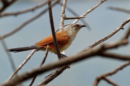 White-browed Coucal - Centropus superciliosus a species of cuckoo in the Cuculidae family, found in sub-Saharan Africa,areas with thick cover afforded by rank undergrowth and scrub.