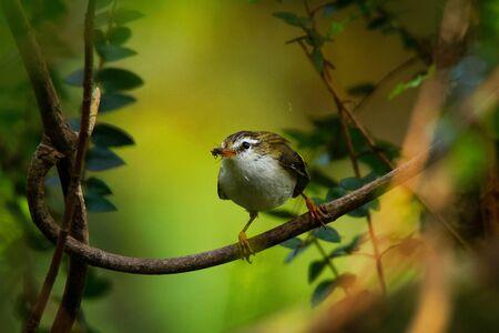 Acanthisitta chloris - Rifleman - titipounamu - endemic bird from New Zealand, small insectivorous passerine bird that is endemic to New Zealand, belongs to the family Acanthisittidae. Banco de Imagens