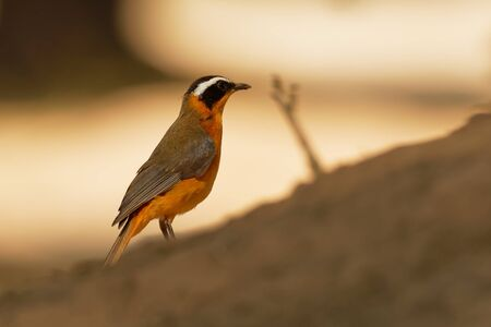 White-browed Robin-chat - Cossypha heuglini, also Heuglins robin,bird in the family Muscicapidae, found in east, central and southern Africa, its natural habitats include riverine forest and thickets.