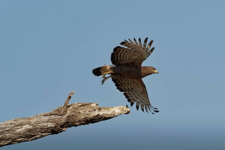Western Banded Snake-Eagle - Circaetus cinerascens grey-brown African raptor with a short tail and a large head, sitting on the trunk and flying away in Zimbabawe in Africa. Stock Photo