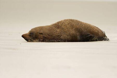 New Zealand Fur Seal - Arctocephalus forsteri - kekeno lying on the rocky beach in the bay in New Zealand.
