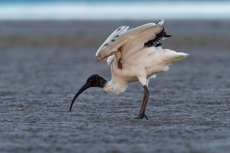 Australian Ibis  - Threskiornis moluccus black and white ibis from Australia looking for crabs during low tide. Banque d'images