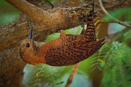 Rufous Woodpecker  - Micropternus (Celeus, Picus) brachyurus brown woodpecker found in South and Southeast Asia, short-billed, foraging on small insects, particularly ants and termites. Stock Photo