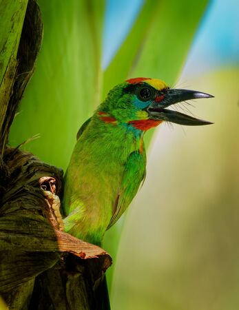 Psilopogon (Megalaima) mystacophanos - Red-throated Barbet  bird in Megalaimidae, found in Brunei, Indonesia, Malaysia, Myanmar, Singapore and Thailand, lives in moist lowland forest and swamps.