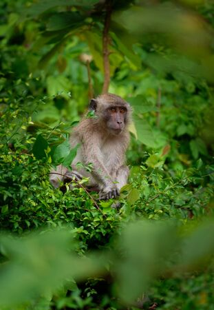 Young child Long-tailed Macaque - Macaca fascicularis also known as crab-eating macaque, a cercopithecine primate native to Southeast Asia, is referred to as the cynomolgus monkey. Standard-Bild