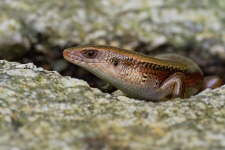 Common Sun Skink - Eutropis multifasciata, known as the East Indian brown mabuya, many-lined sun skink, many-striped skink, golden skink, is a species of asian skink. Standard-Bild