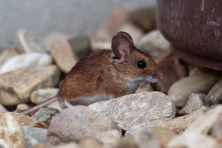 Wood mouse - Apodemus sylvaticus is murid rodent native to Europe and northwestern Africa,  common names are long-tailed field mouse, common field mouse and European wood mouse. Standard-Bild