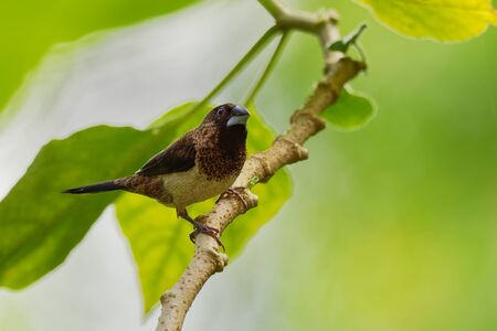 White-rumped Munia or Mannikin - Lonchura striata or white-rumped mannikin, also called striated finch in aviculture, small passerine bird from the family of Estrildidae.