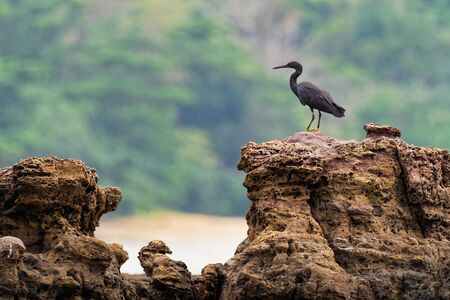 Pacific Reef-egret - Egretta sacra known as the eastern reef heron or eastern reef egret, species of heron found throughout southern Asia and Oceania, dark and light morph bird.