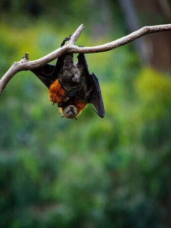 Pteropus poliocephalus - Gray-headed Flying Fox in the evening, fly away from day site, hang down on the branch and watch.