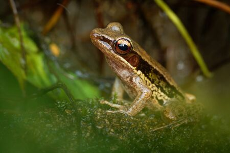 Common Southeast Asian Tree Frog - Polypedates leucomystax, species in the shrub frog family Rhacophoridae, also known as four-lined tree frog, golden tree frog or striped tree frog.