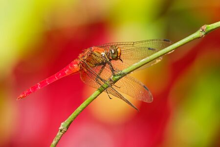 Dragonfly - Orthetrum testaceum, common names Crimson Dropwing or Orange Skimmer. is an Asian freshwater dragonfly species belonging to thr family Libellulidae.