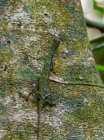 Barred gliding lizard - Draco taeniopterus - Draco is a genus of agamid lizards that are also known as flying lizards, flying dragons or gliding lizards, capable of gliding flight, perfect camouflage. Stock Photo