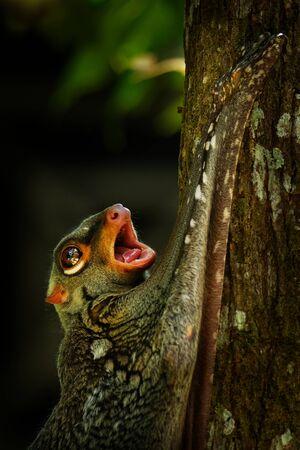 Sunda flying lemur - Galeopterus variegatus or Sunda colugo or Malayan flying lemur or Malayan colugo, found throughout Southeast Asia in Indonesia, Thailand, Malaysia, and Singapore.